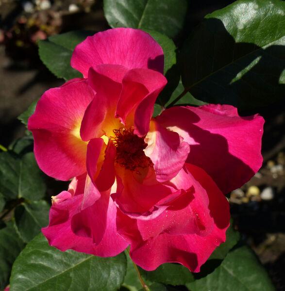 Rosa 'Aurora Boreal'