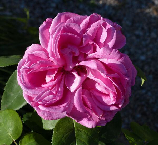 Rosa 'General Th. Peschkoff'