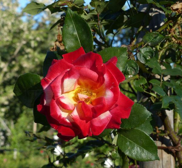 Rosa 'Masquerade Cl.'
