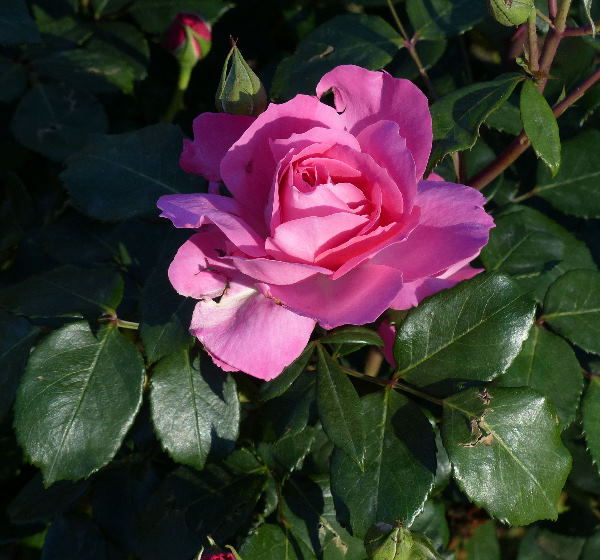 Rosa 'Sylvie Vartan ®'