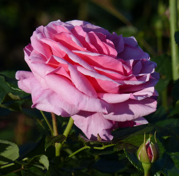 Rosa 'Mauve Melodee ®'