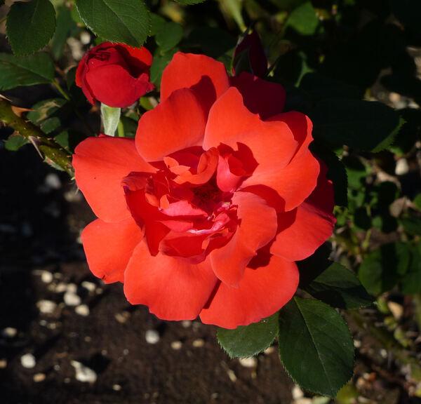 Rosa 'Korona'
