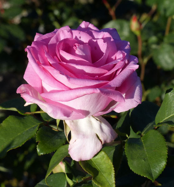 Rosa 'Bordure Nacrée ®'