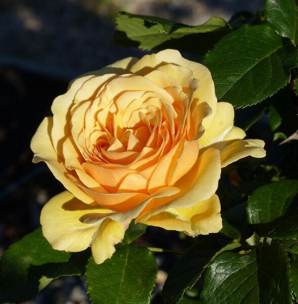 Rosa 'Amber Queen ®'