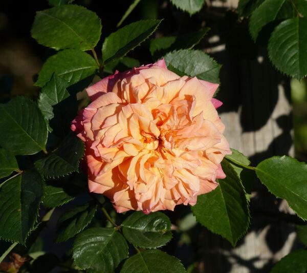 Rosa 'Aloha ®'