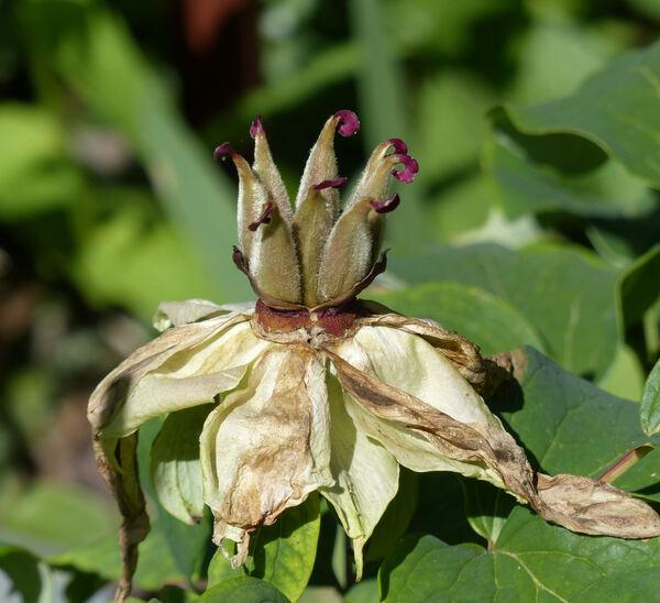 Paeonia suffruticosa Andrews 'Yachiyo Tsubaki'
