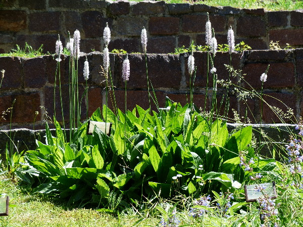 Plantago media L. subsp. media