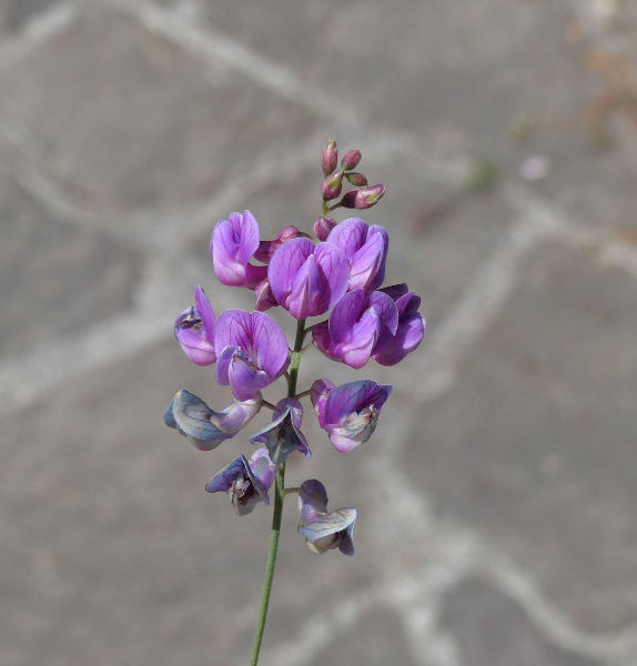 Lathyrus niger (L.) Bernh.