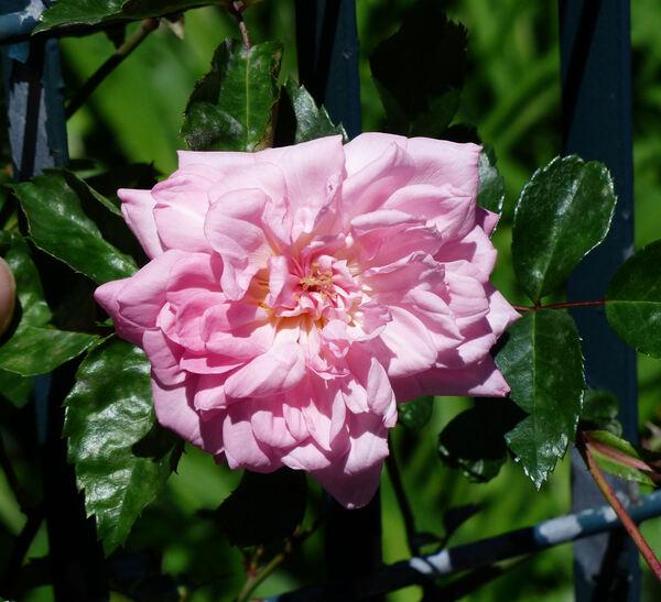 Rosa 'Léontine Gervais'