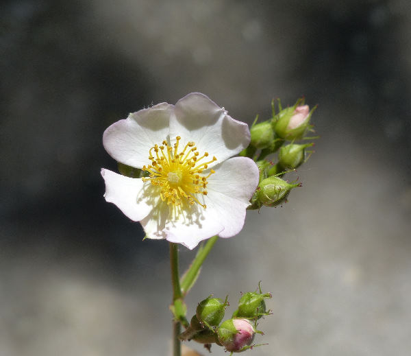 Rosa multiflora Thunb.