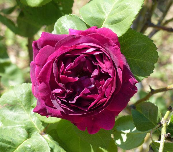 Rosa 'Dr. Hoog'