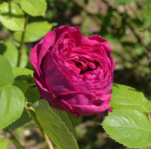 Rosa 'Violet Queen'