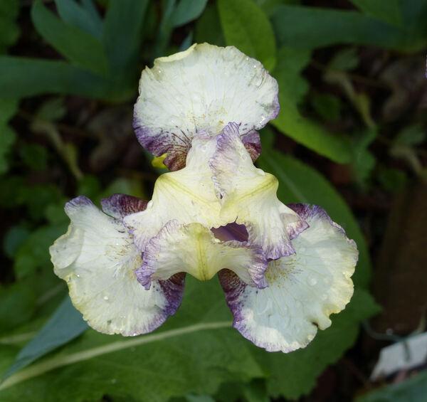 Iris 'Innocenti Evasioni'