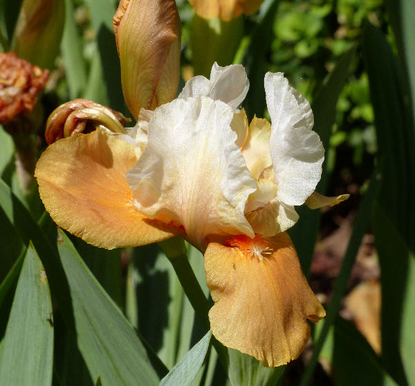 Iris 'Sunny Cinnamon'