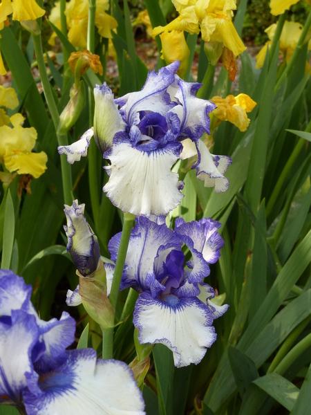 Iris 'Orinoco Flow'