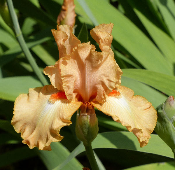 Iris 'Golden Surprise'