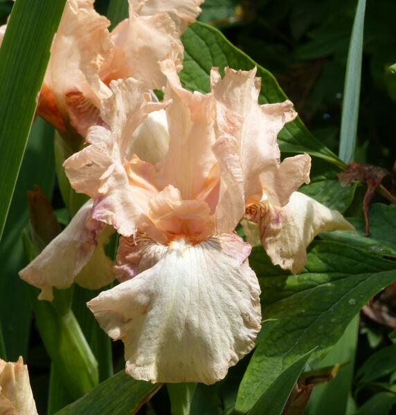 Iris 'Brigantino'