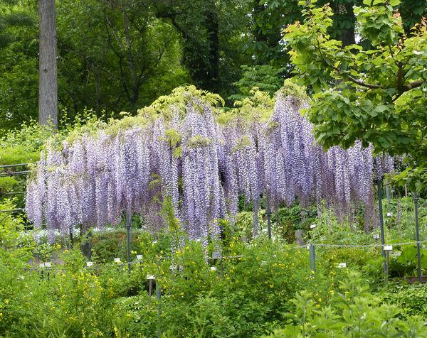 Wisteria floribunda (Willd.) DC. 'Macrobotrys'