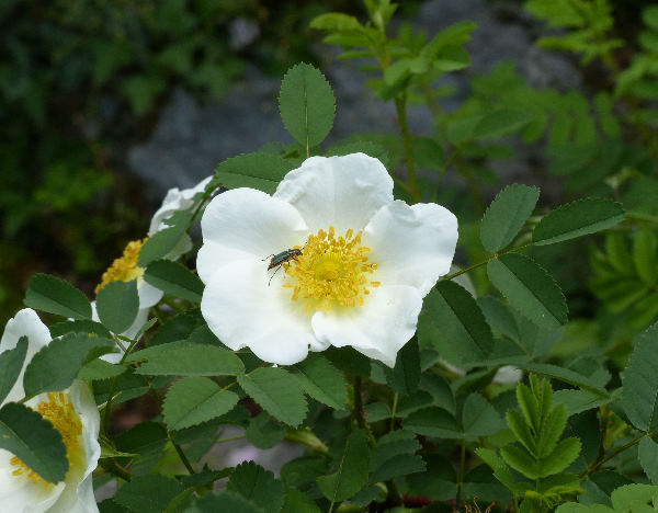 Rosa spinosissima L.