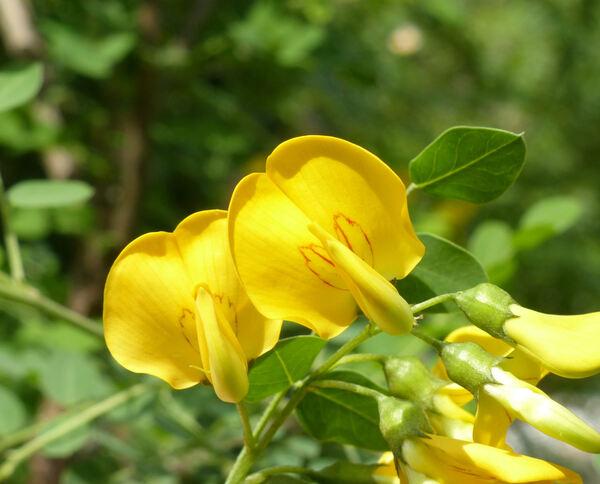 Colutea arborescens L.