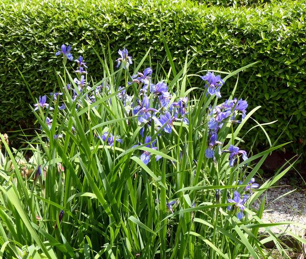 Iris versicolor L.