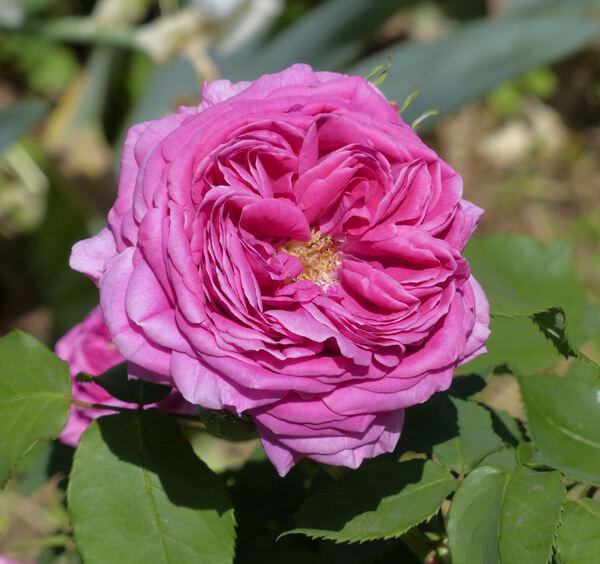 Rosa 'Docteur Georges Martin'
