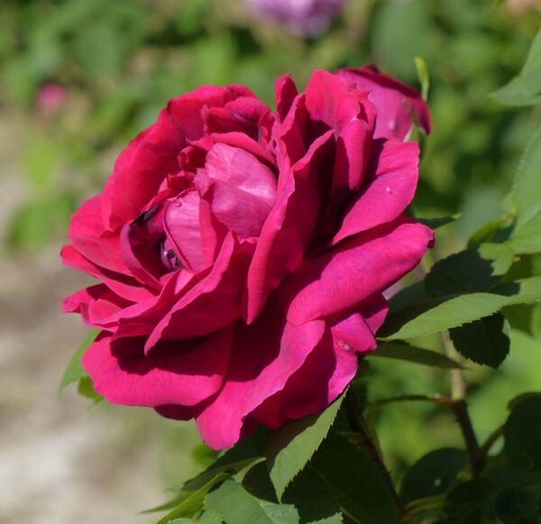 Rosa 'Henry Nevard'