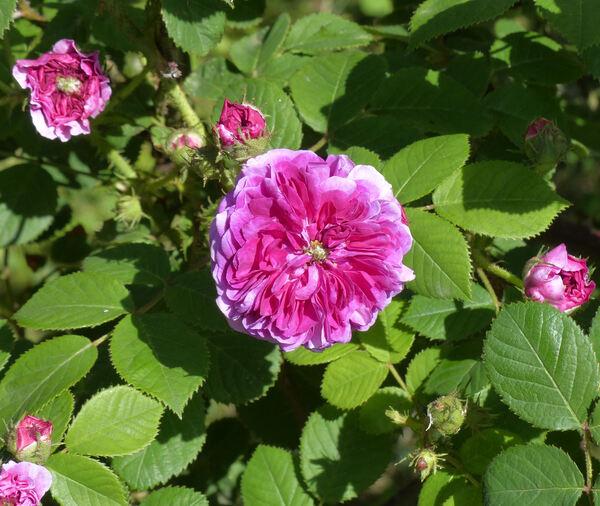 Rosa 'Russelliana'