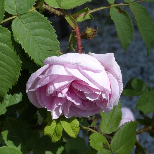 Rosa 'John Cranston'