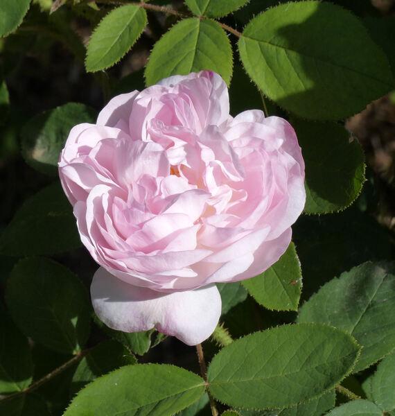 Rosa 'Alfred de Dalmas'