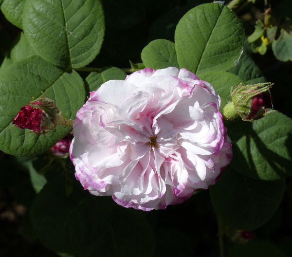 Rosa 'Léda'