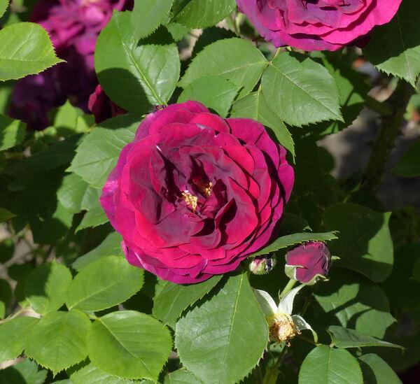 Rosa 'Deuil de Dunois'
