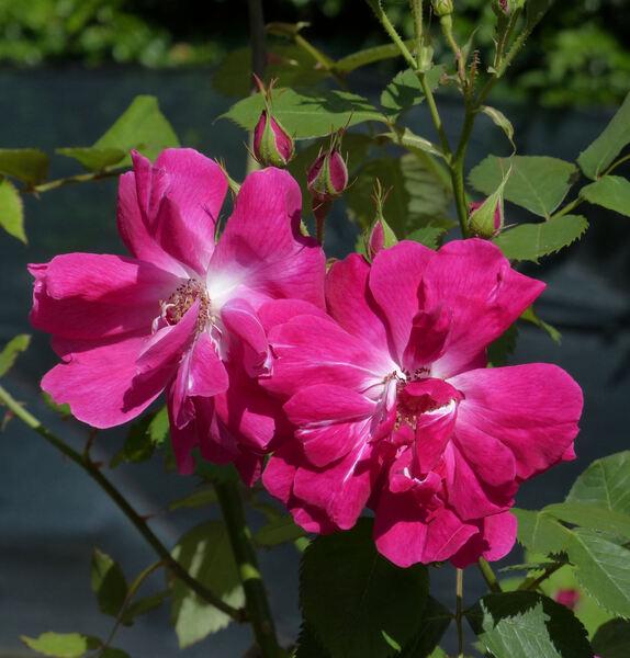 Rosa 'Edouard André le Botaniste'