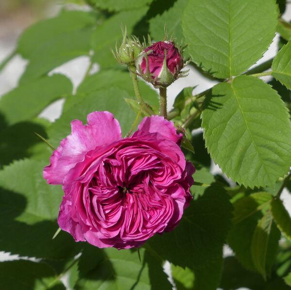 Rosa 'François Levet'