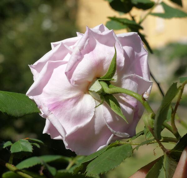 Rosa 'Gribaldo Nicola'