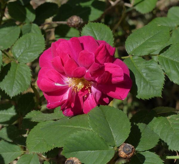 Rosa 'Wodan'
