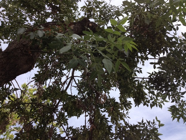 Fraxinus angustifolia Vahl subsp. syriaca (Boiss.) Yalt.