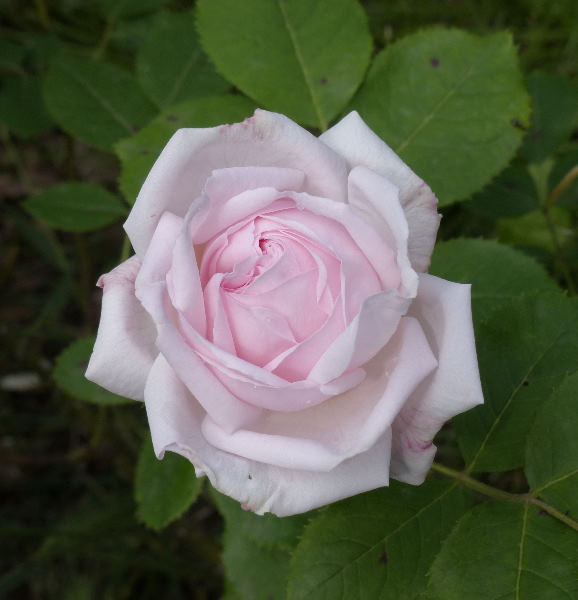 Rosa 'Elisa Boëlle'