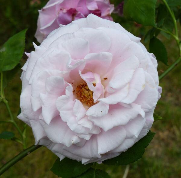 Rosa 'Mrs. Paul'