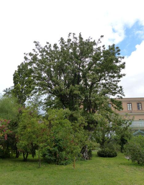 Ehretia acuminata R. Br.