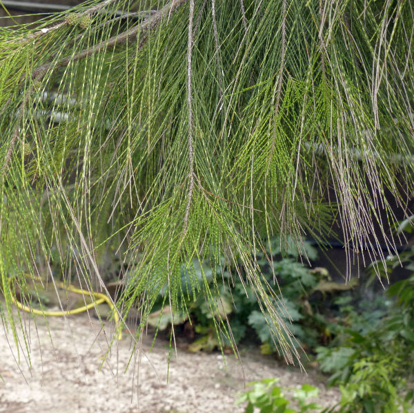 Allocasurina torulosa (Aiton) L.A.S.Johnson