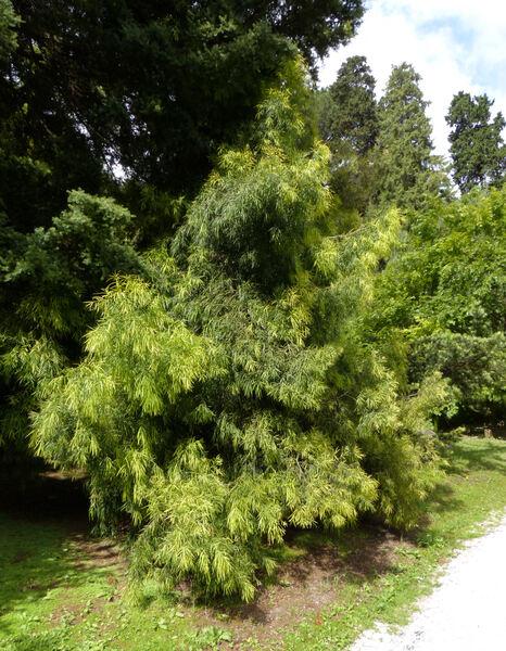 Afrocarpus mannii (Hook.f.) C.N.Page