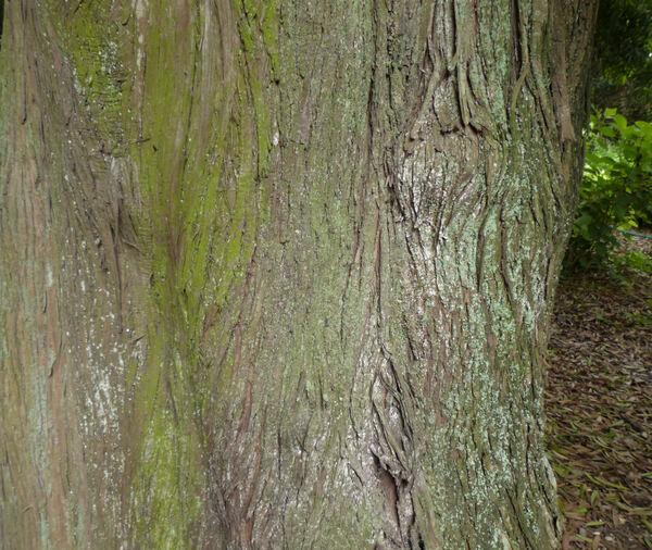 Podocarpus neriifolia D.Don
