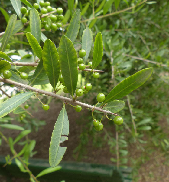 Schinus polygamus (Cav.) Cabrera