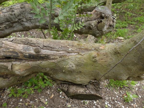 Schinus lentiscifolius March.