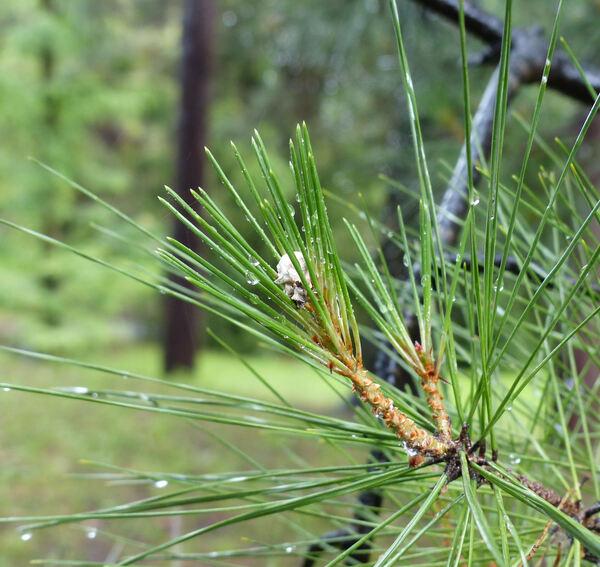 Pinus halepensis Mill. subsp. brutia (Ten.) Holmboe