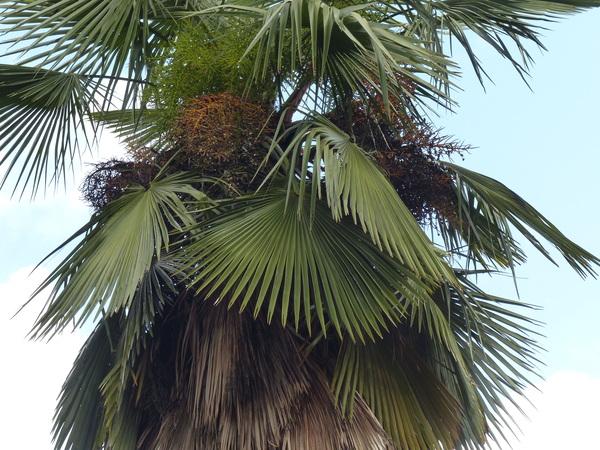 Trachycarpus takil Becc.