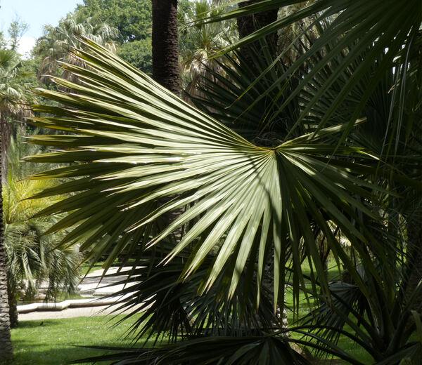 Sabal bermudana L. H. Bailey