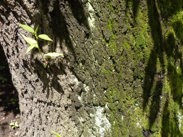 Prunus serotina Ehrh. subsp. capuli (Cav.) McVaugh