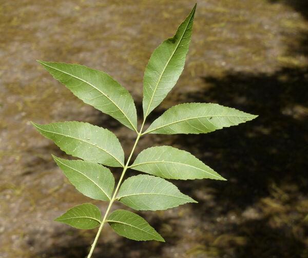 Carya illinoinensis (Wangenh.) K. Koch